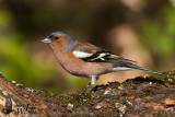 Adult male Common Chaffinch (ssp.  coelebs )
