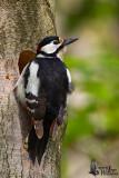 Adult male Great Spotted Woodpecker (ssp.  pinetorum )