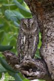 Adult Eurasian Scops Owl (ssp.  cyprius )