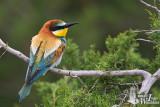 Adult European Bee-eater