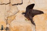 Adult Eleonora's Falcon (light morph)