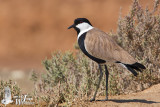 Adult Spur-winged Lapwing