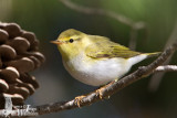 Adult Wood Warbler