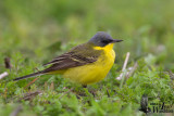 Adult male Western Yellow Wagtail (ssp.   thunbergi )