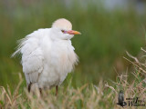 Adult Western Cattle Egret