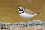 Adult male Little Ringed Plover  (ssp.  curonicus )