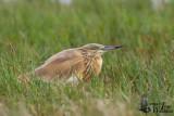 Squacco Heron in non-breeding plumage