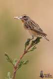 Adult female Whinchat