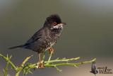 Adult male Cyprus Warbler