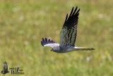 Immature male Montagu's Harrier (2nd cy)