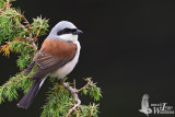 Adult male Red-backed Shrike