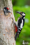 Adult female Great Spotted Woodpecker at nest