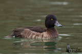 Adult female Tufted Duck