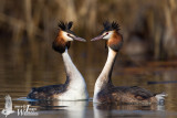 Great Crested Grebes (ssp.  cristatus ) displaying
