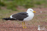 Adult Lesser Black-backed Gull (ssp. intermedius)
