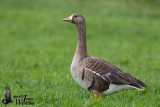 Adult Greater White-fronted Goose (ssp.   albifrons )