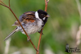 Adult male Common Reed Bunting in breeding plumage
