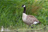 Adult Canada Goose