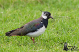 Adult  Northern Lapwing in breeding plumage