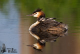 Adult Great Crested Grebe (ssp.  cristatus ) with chick