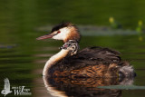 Adult Great Crested (ssp.  cristatus ) grebe with chick