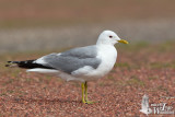 Adult Mew Gull (ssp.  canus )