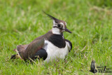 Adult female Northern Lapwing in breeding plumage