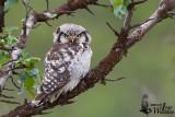 Adult Northern Hawk-Owl (ssp.  ulula )