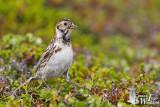 Adult female Lapland Longspur (ssp.  lapponicus ) in breeding plumage