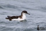 Adult Manx Shearwater