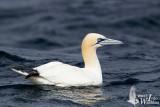Adult Northern Gannet