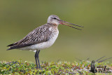 Adult female Bar-tailed Godwit (ssp.   lapponica ) in breeding plumage