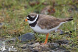 Adult male Common Ringed Plover (ssp.  tundrae ) in breeding plumage