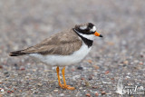 Adult male Common Ringed Plover (ssp.  hiaticula ) in worn breeding plumage