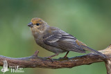 Juvenile Pine Grosbeak