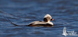 Adult male Long-tailed Duck