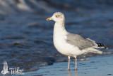 Adult winter European Herring Gull (ssp.  argenteus )