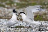 Adult Sandwich Terns in breeding plumage