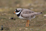 Adult Common Ringed Plover (ssp.   hiaticula ) in breeding plumage