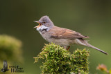 Adult male Common Whitethroat