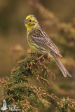 Adult male Yellowhammer