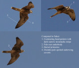Lanner (Falco biarmicus abyssinicus)