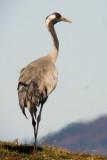 Fåglar Digiscoped