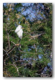 09 HL_cam__MG_5610 oiseau blanc dans arbre.jpg