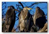 14 HL_cam_O_MG_5695 jeunes h'rons au nid.jpg