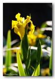 19 HL_cam__MG_5469 IRIS jaune.jpg