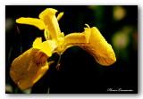 21 HL_cam_MG_5472 iris ros'e.jpg