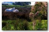 25 HL_cam__MG_5806 chevaux camarguais.jpg