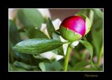 _MG_1311 nature fleur bouton.jpg
