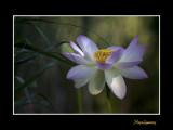 _MG_2816 nature fleur lotus.jpg